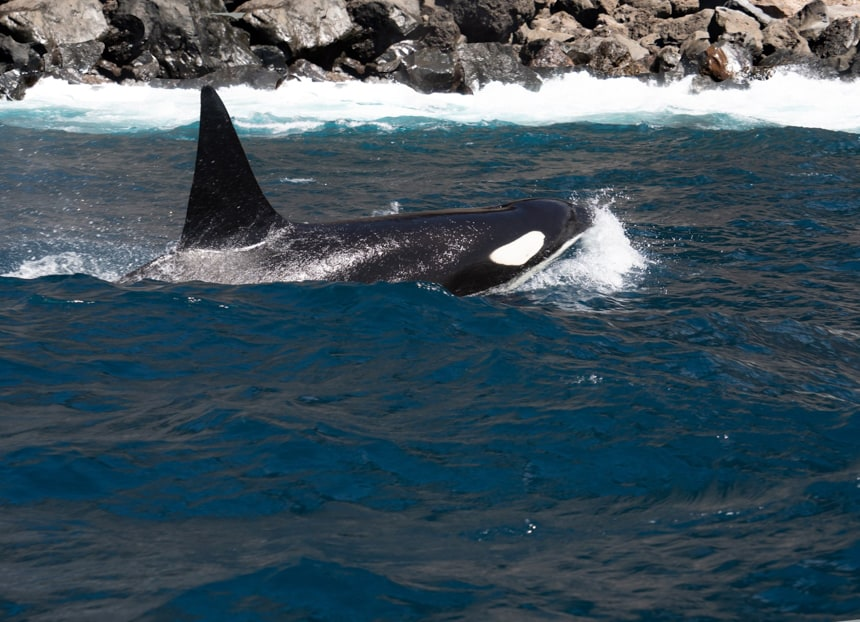 in the Galapagos, a black and white orca whale breaks the surface of the ocean beyond it you can see white waves crashing into a rocky shore