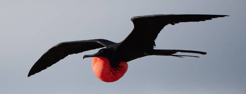 In the Galapagos. a black frigate bird flys through the air with open wings, his inflated red pouch hangs below his chest.