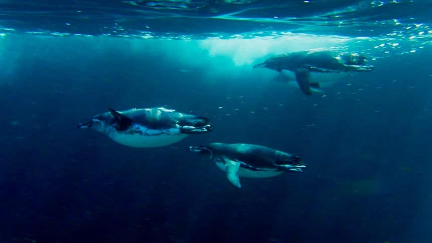 three Galapagos penguins shoot through the clear blue water like black and white torpedoes