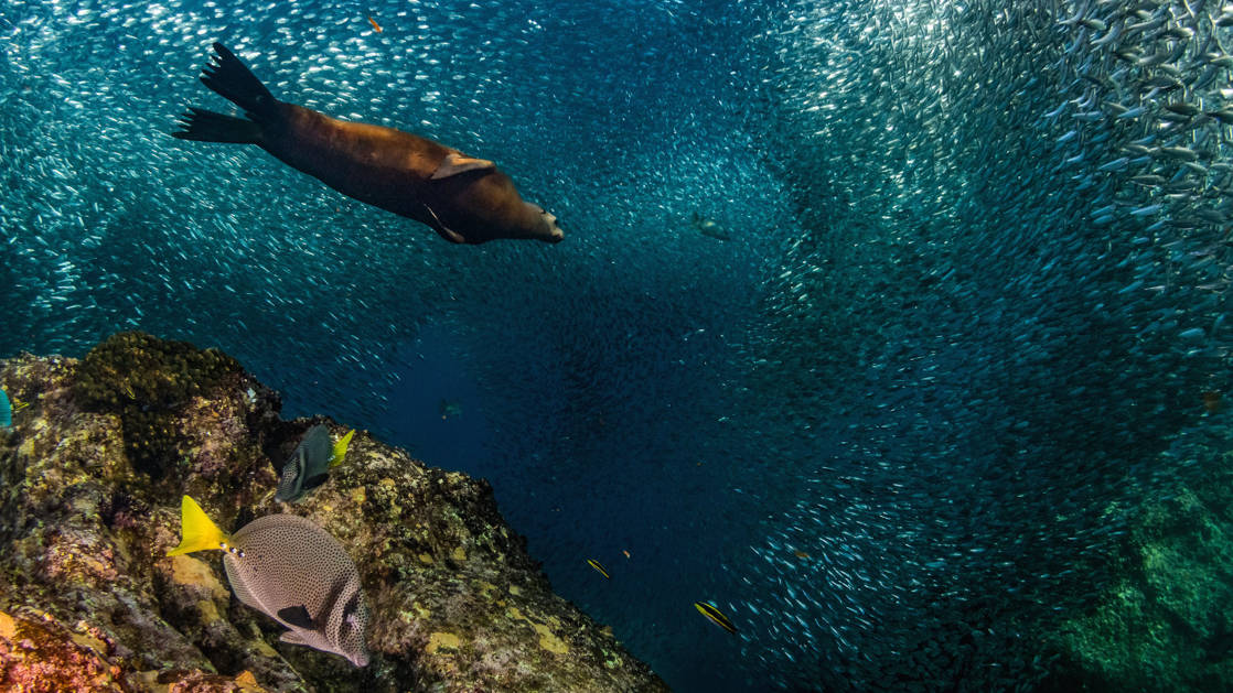 Sea lion swims among a large school of small silver fish, with bright coral reef & fish beneath, seen during the Sea & Sierra: Glamping Baja California Sur land tour.
