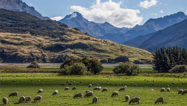 Sheep munching on green grass with big New Zealand mountains in the background.