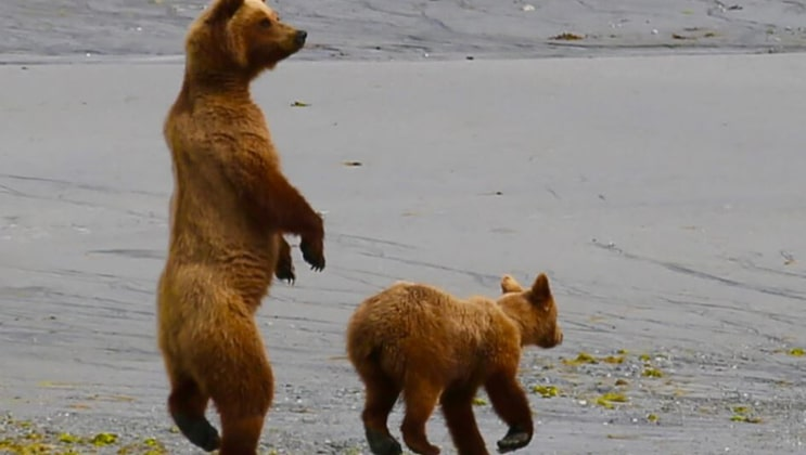 Brown bear & cub stand on the gray shoreline, seen from a small ship cruise.