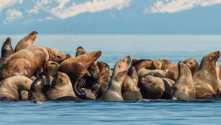 Sea lions haul out in a large group, sitting on top of rocks in calm blue water with snowcapped mountains in the background during an Alaska small ship cruise.