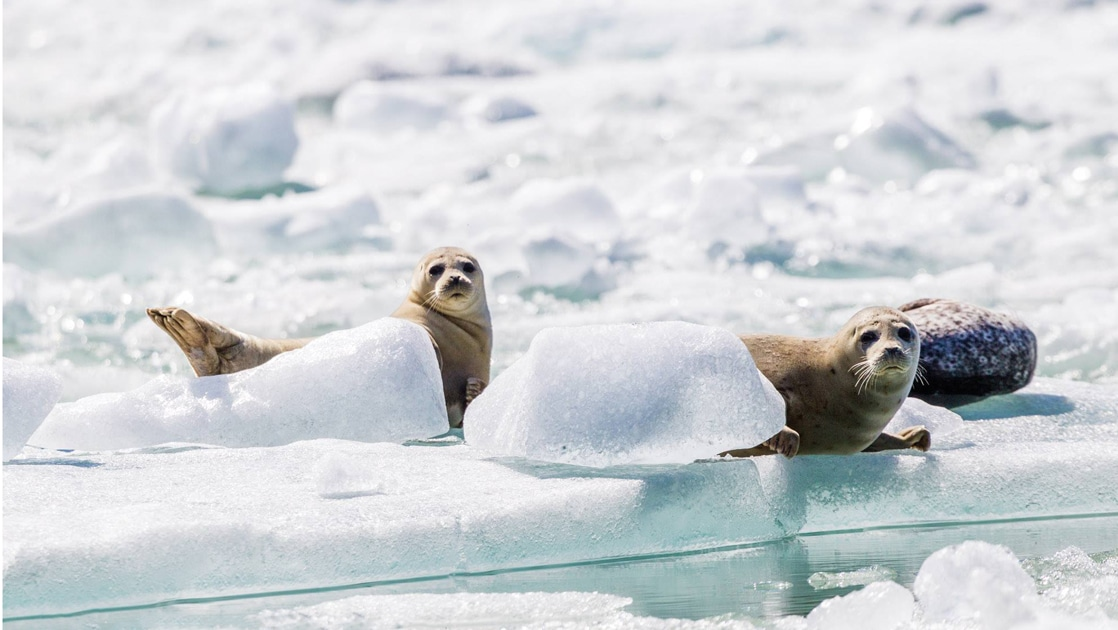 Two spotted seals lay on a giant white ice berg floating in the waters of Alaska's Glacier Bay National Park.