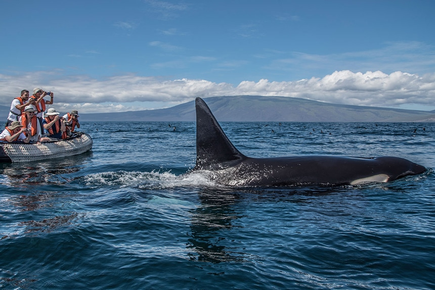 In the Galapagos a black and white orca breaks the surface of the ocean a group of cruse guests aboard a skiff take photos