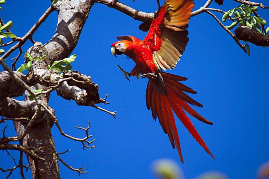 A bright red macaw bird spread's its wings and extends hiss talons to land on a tree in the Costa Rica rainforest