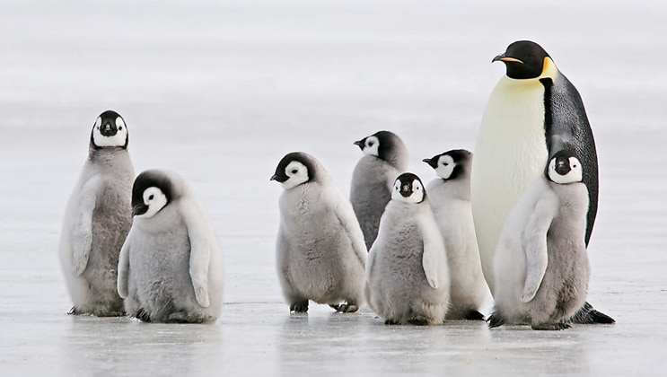 Emperor penguin with fuzzy gray chicks stand on the ice during Le Commandant Charcot Bellingshausen Sea Voyages.