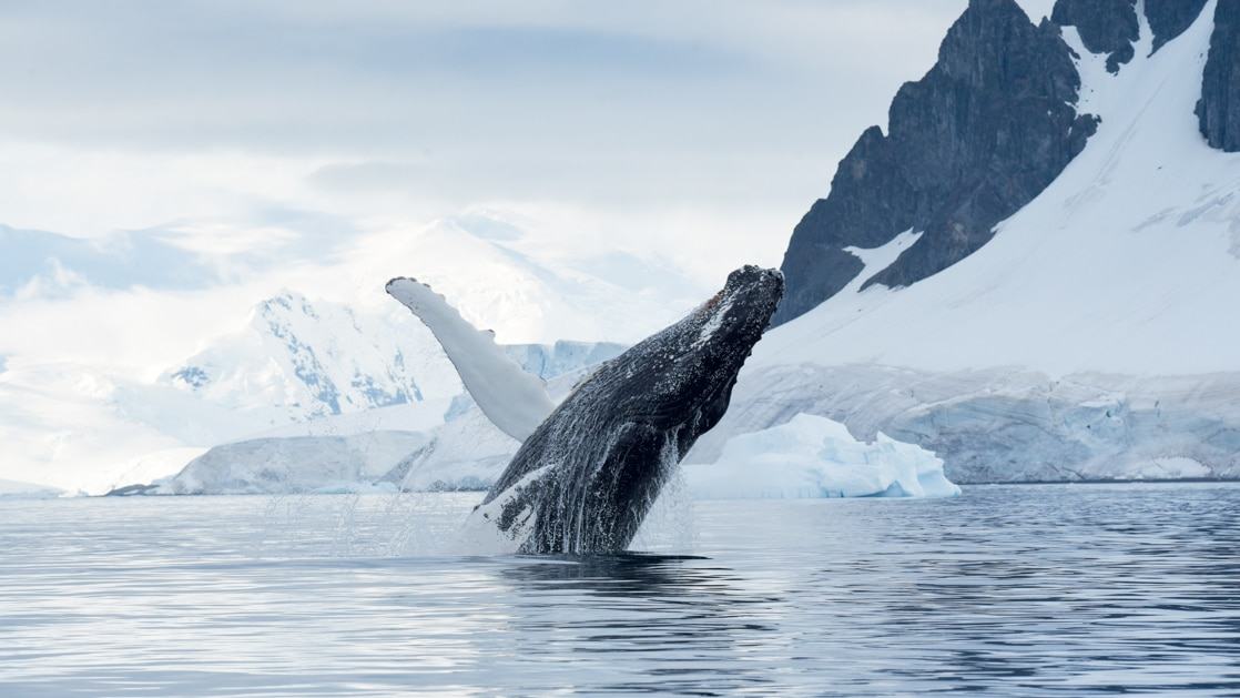 Humpback whale raises its head and a fin out of glassy waters during Le Commandant Charcot Bellingshausen Sea Voyages.
