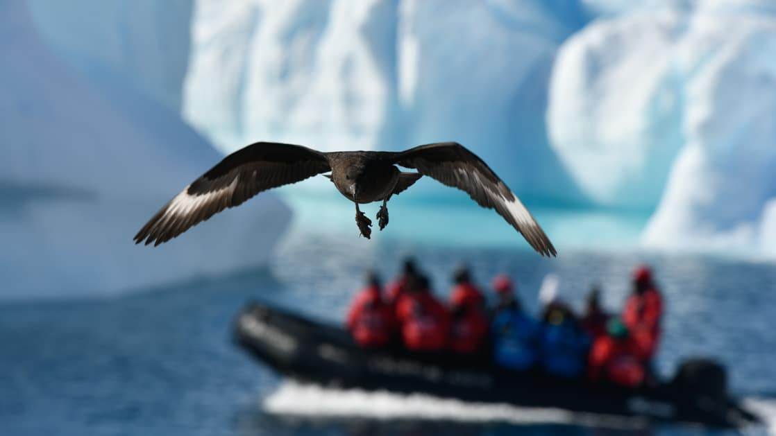 Antarctica travelers in red jackets on a Zodiac cruise view a brown skua bird fly beside them, with icebergs in the background.