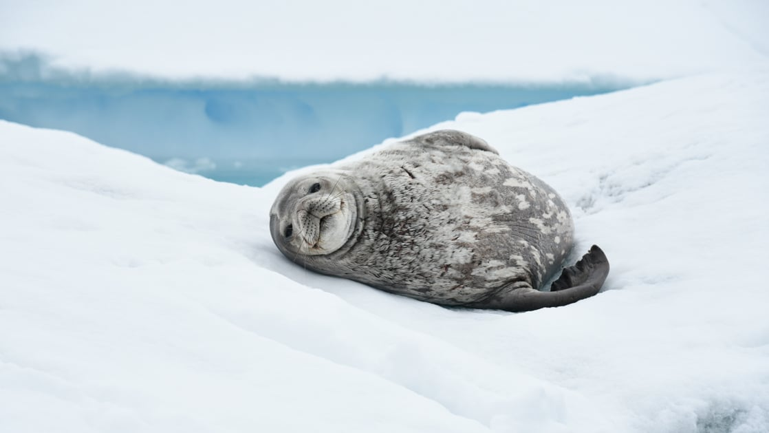 Mottled Weddell Seal lays on its back on the ice during an Antarctica voyage aboard Le Commandant Charcot.