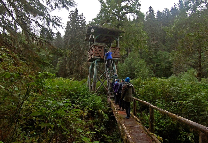 In Alaska a group of Catalyst cruise guests walk along a wooden bridge that leads to a ladder up to a observation tower surrounded by sh green forest