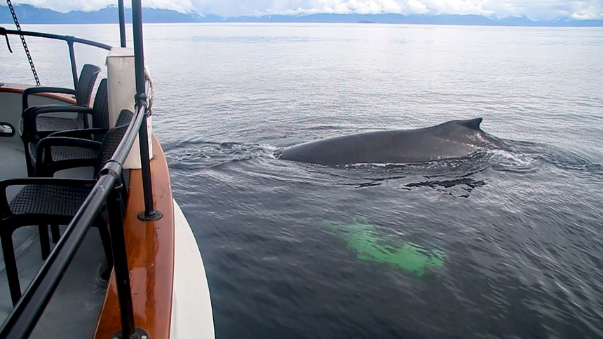 In Alaska a hump back whale breaches very close to the bow of the small ship Catalyst