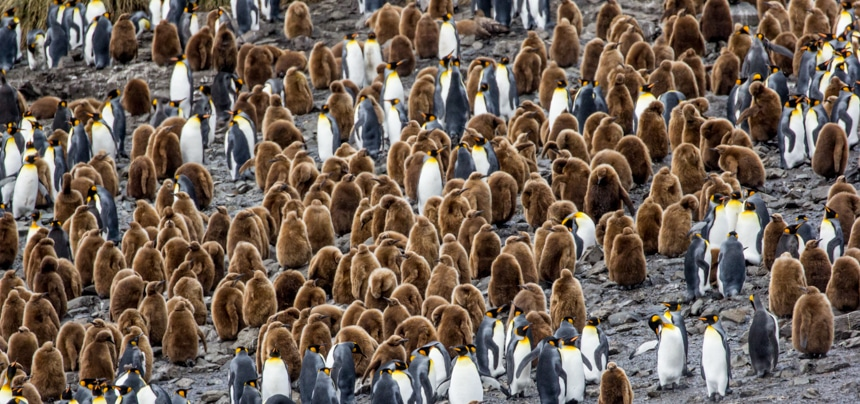 a colony of white, black, and orange penguins with their fuzzy, brown chicks on south georgia island in antarctica