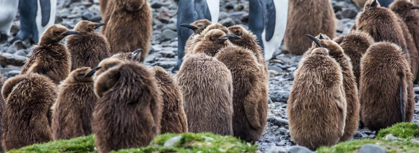 a group of fuzzy, brown, penguin chicks hanging out together on the rocky, wet shore in fortuna bay, antarctica