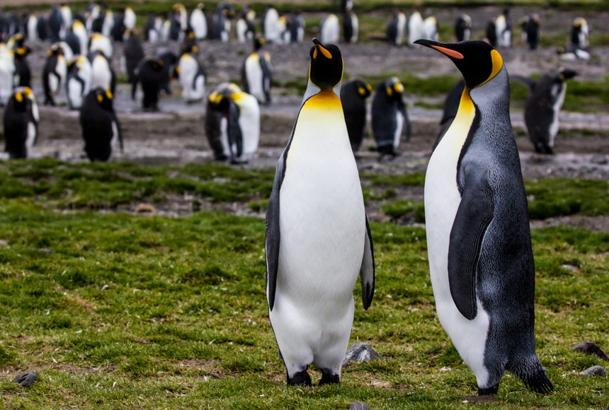 two king penguins posing majestically in fortuna bay antarctica while the rest of the colony hang out in the background