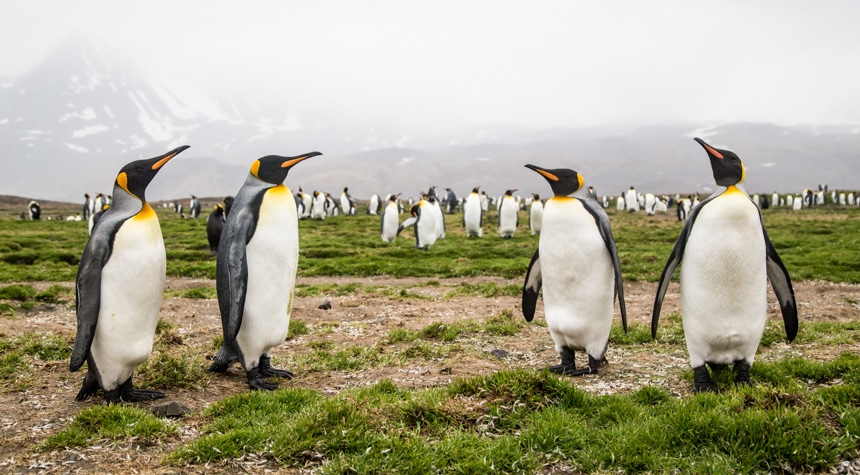 four curious penguins stand together while the rest of the penguin colony is scattered about in the background in antarctica