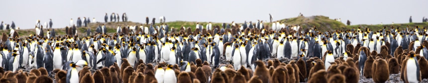 a large colony of king penguins with their chicks all along the rocky shoreline of fortuna bay in south georgia antarctica