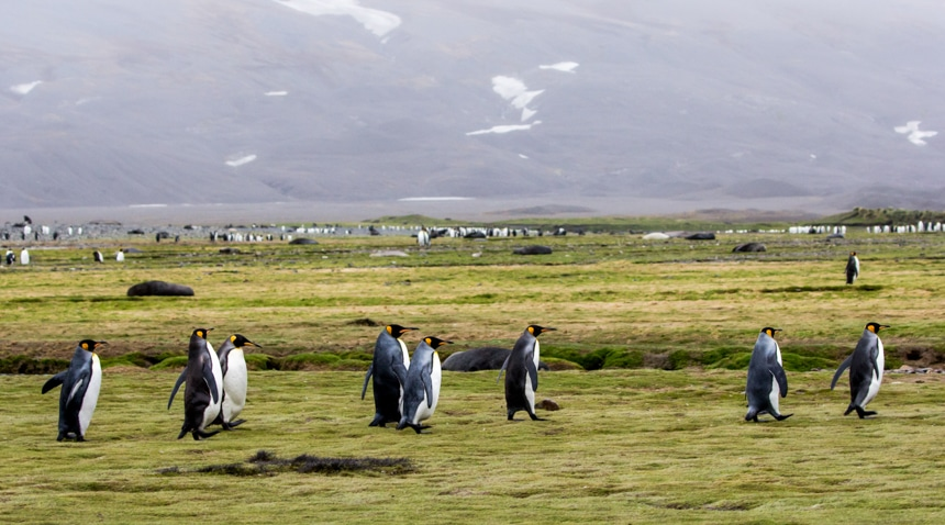 a group of king penguins walking single file on the lush, green, grassy shore of fortuna bay, antarctica