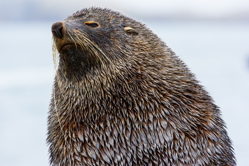 a close up of the face of a brown fur seal looking off into the distance in antarctica on an overcast day