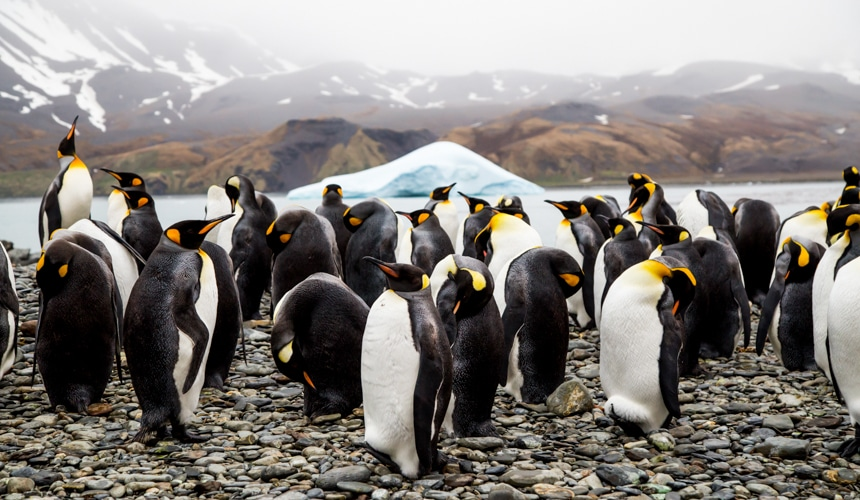 a group of black, white, and orange king penguins on the shoreline in antarctica with an iceberg floating in the background