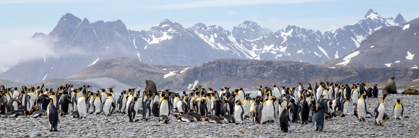 a colony of penguins gathered together on the rocky shoreline with some fur seals hanging around in south georgia