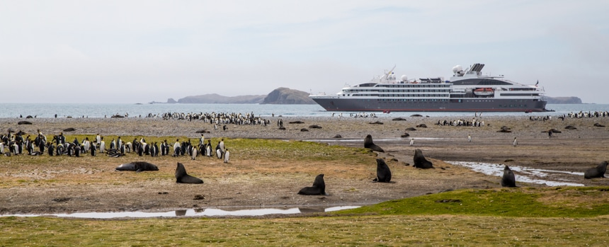 brown fur seals on south georgia island among groups of black and white penguins with large luxury ship anchored off shore