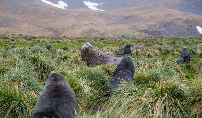 elephant seals relaxing in the lush, green, grassy lands on shore in South Georgia Island of Antarctica with mountains rising the background