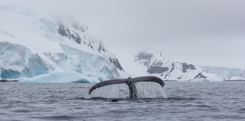 a whale tail out of the ocean water with icebergs and snow capped mountains in the background in antarctica