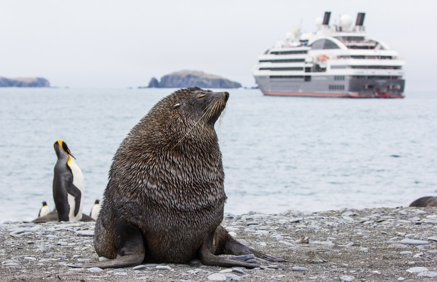 brown fur seal and black, white, orange penguin on south Georgia island with large luxury ship floating in background