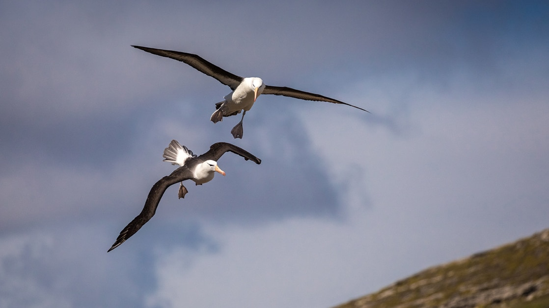 2 black-browed albatross fly beside each other during the Essential Patagonia: Chilean Fjords & Torres del Paine Cruise.