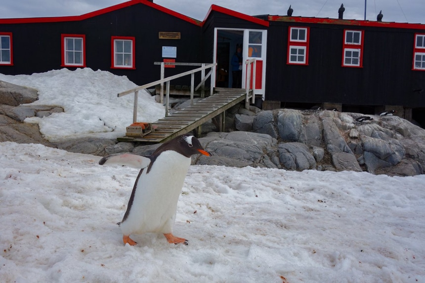A Gentoo penguin waddles in front of Port Lockroy research station in Antarctica, a black building with bright red trim.
