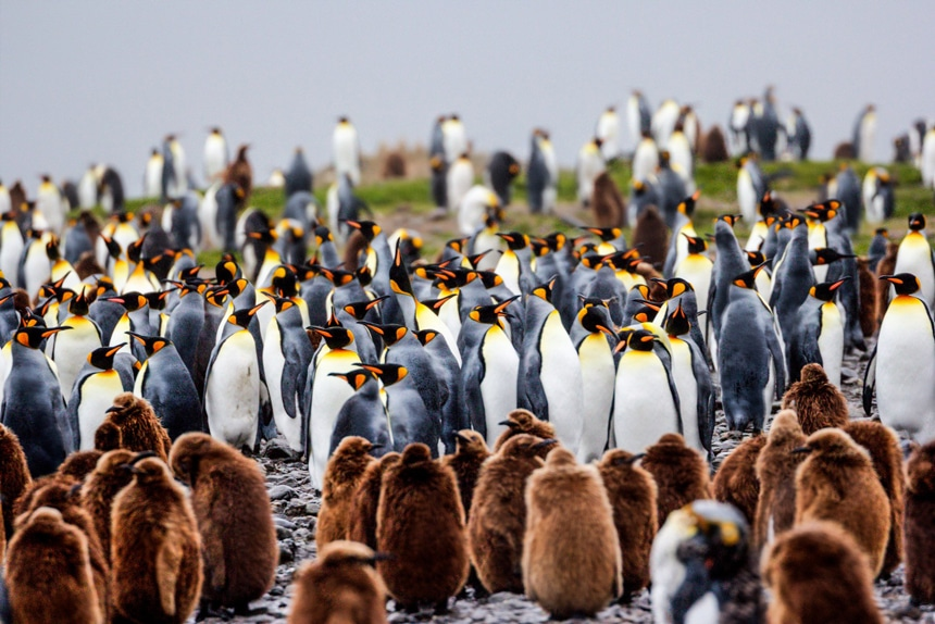 A colony of king penguins and brown fuzzy chicks stand in large numbers on South Georgia Island in Antarctica.
