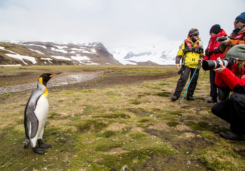 On South Georgia island, Antarctica cruise travelers in red parkas stand feet away from a single king penguin and take a photograph.
