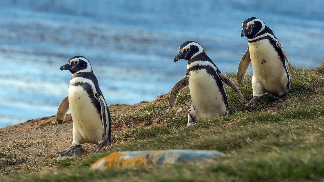 3 Magellanic penguins with white chests and black backs walk over grass with blue sky behind, during the Essential Patagonia cruise.