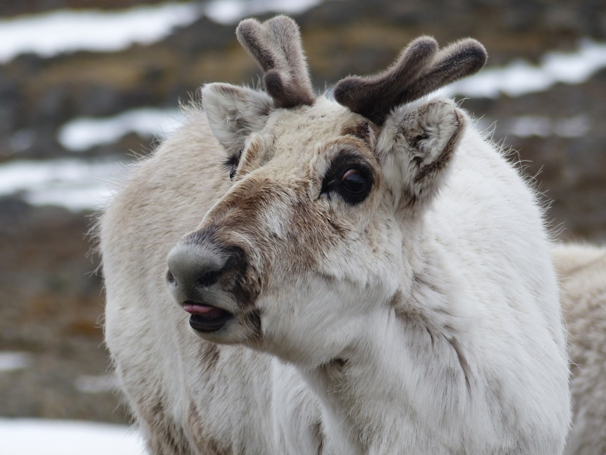 A portrait of a young Arctic reindeer with short fuzzy antlers and tan fur sticks its pink tongue out at the camera.