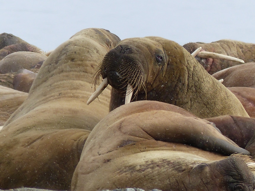 A group of brown walrus with whiskers and two long white tusks lay close together in the Island of Spitsbergen in the Arctic.