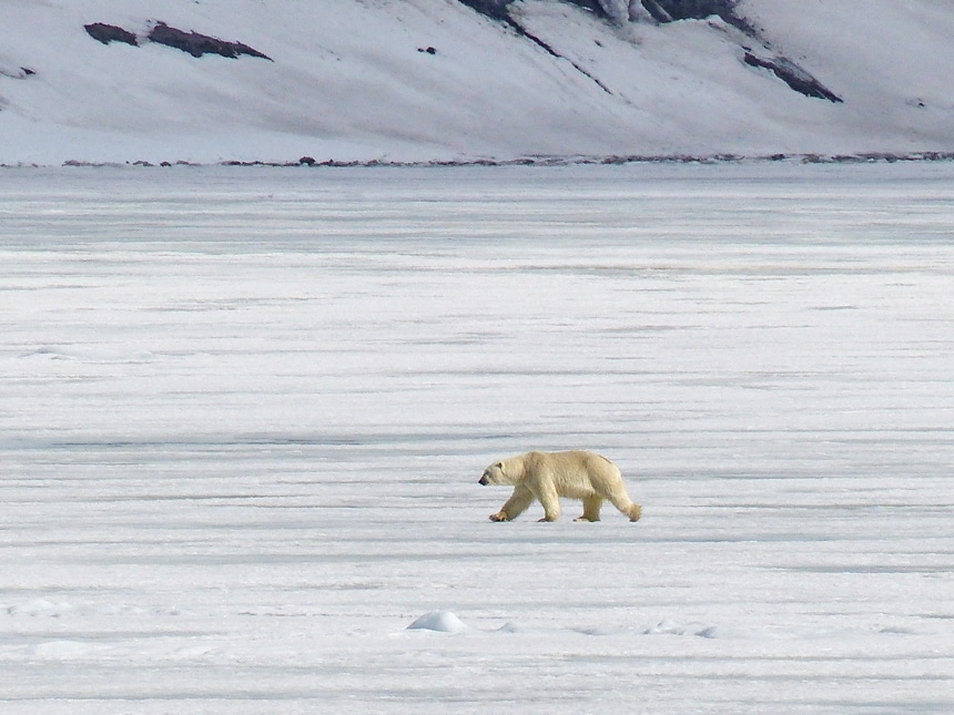 A solo white polar bear is spotted walking along the snowy arctic tundra against a white snow covered mountain range,