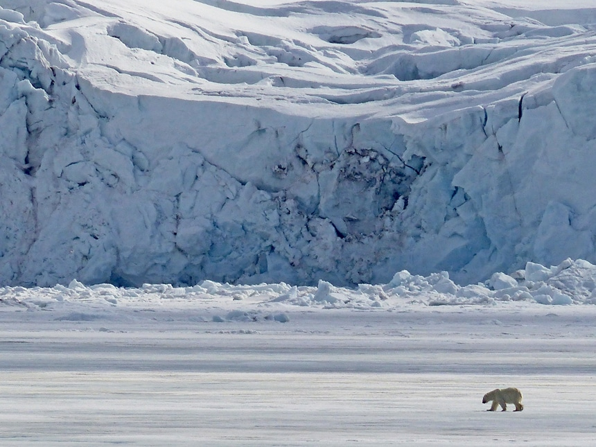 Seen from a Spitsbergen cruise a lone polar bear walks along the Arctic tundra in front of a massive icy glacier.