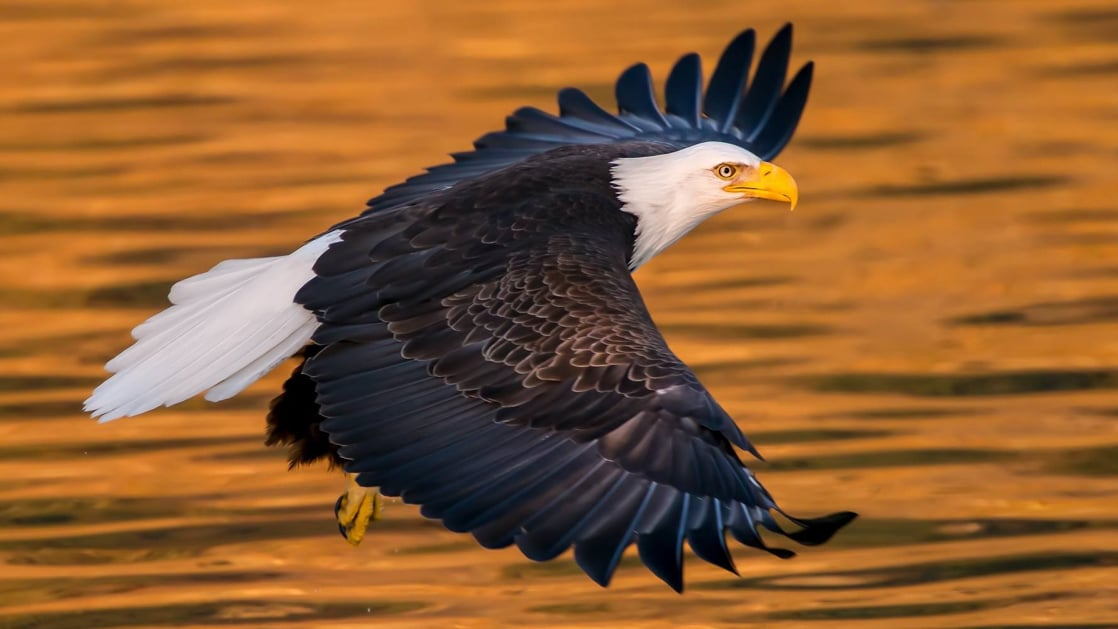 Bald eagle with spread wings flies over golden waters during the Alaska Explorer: Kenai Peninsula & Prince William Sound tour.
