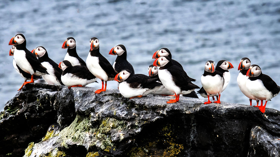 Flock of puffins sit atop a rock with ocean behind during the Icelandic Mosaic cruise.