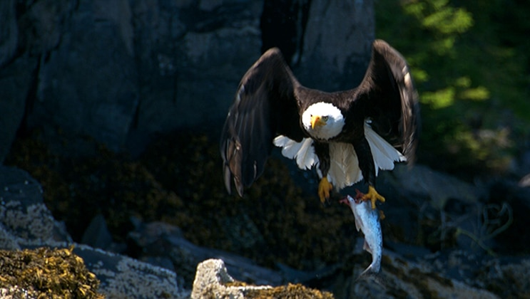 Bald eagle flaps its wings as it comes in for a landing on a rock, seen during the Prince William Sound Cruise & Rail Adventure.