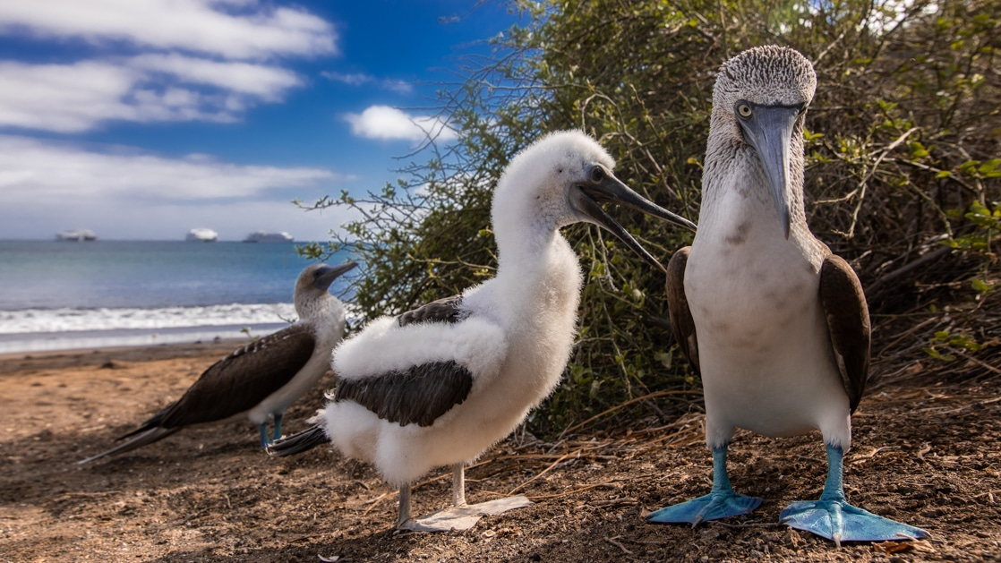 Blue-footed booby parents with chick, with blue feet, brown & white feathers & long beaks, standing on shore on a sunny day in Galapagos.