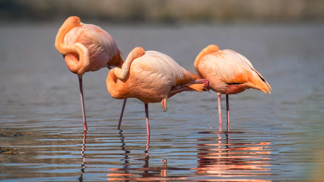 3 pink flamingoes stand in calm shallow water & preen themselves during an Elite cruise in the Galapagos Islands.