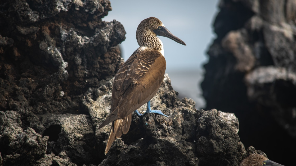 Blue-footed booby bird with blue feet, long beak & brown feathers stands on rocky outcrop during an Endemic Galapagos cruise.