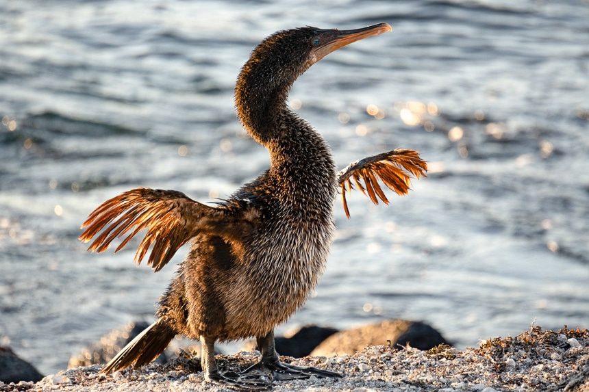 Galapagos animal the Flightless Cormorant has turquoise eyes and stretches its short, stunted wings while standing on lava rocks in front of the sea.