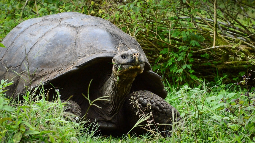 The Galapagos giant tortoise the most famous of Galapagos Islands animals wears a massive shell and feeds on green grass in the lush island highlands.