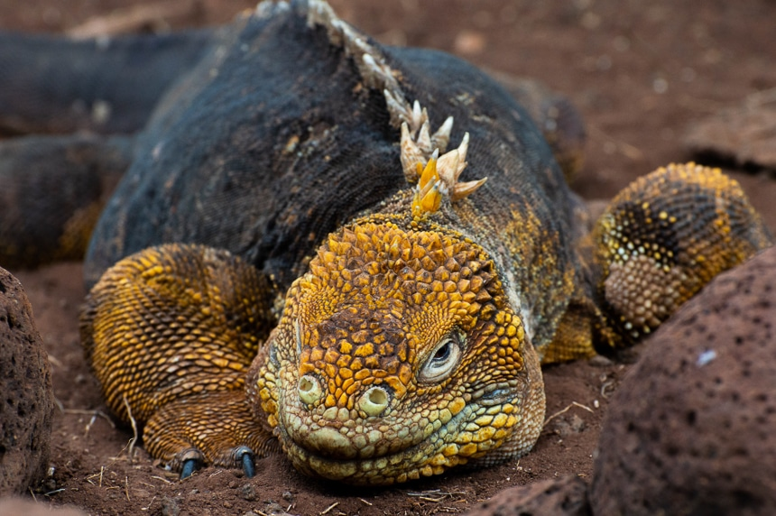 Galapagos land iguana, a yellow dragon like creature with a long tail, clawed feet and spiny crest lays on red orange lava rock.