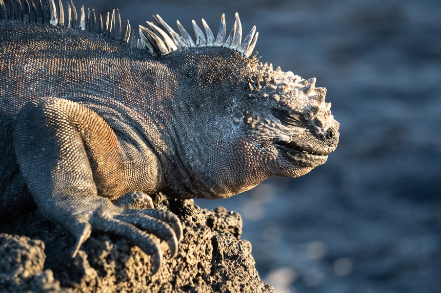 A portrait of a marine iguana on a black lava rock basking in the sun. A black and grey lizard with clawed feet and spiny crest.