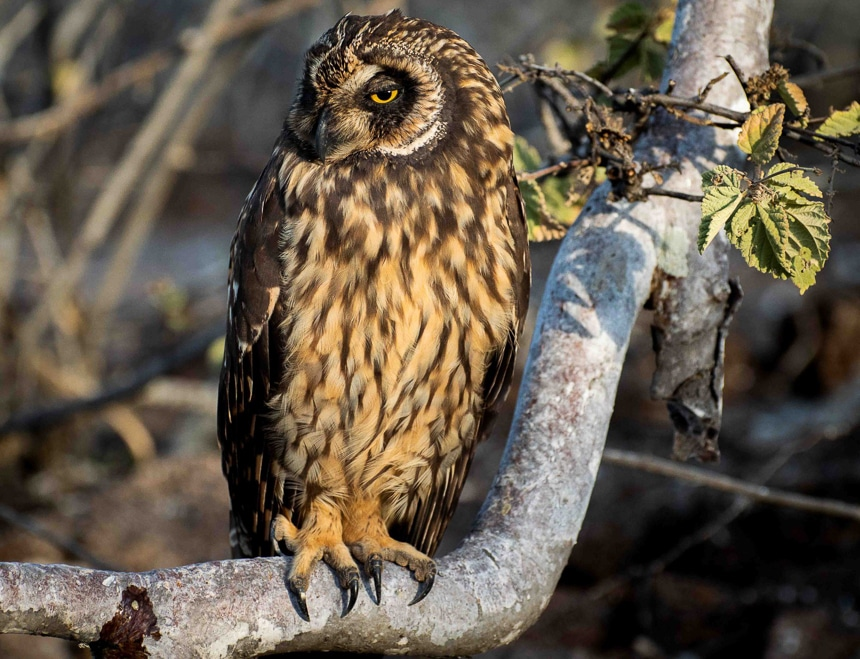 The owl, an elusive Galapagos Islands animal grasps a tree limb. Large yellow eyes and short tufted ears and effective camouflage of dark and light brown feathers.