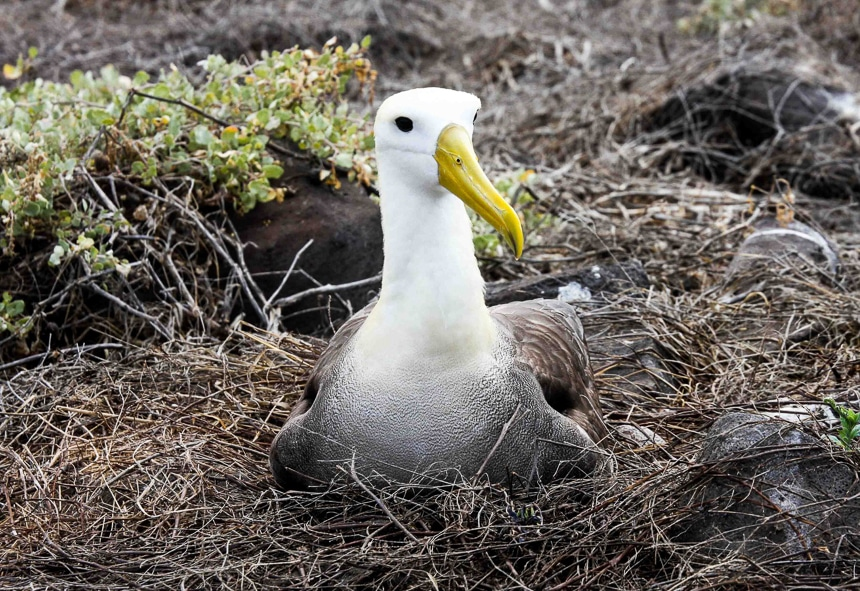 A white and grey Galapagos albatross with a long yellow beak sits in a nest of brown sticks. These Galapagos Islands animals breed exclusively on Española.